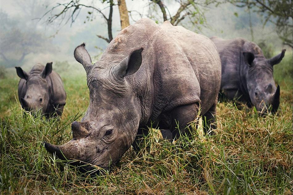 white rhinos by stefane berube